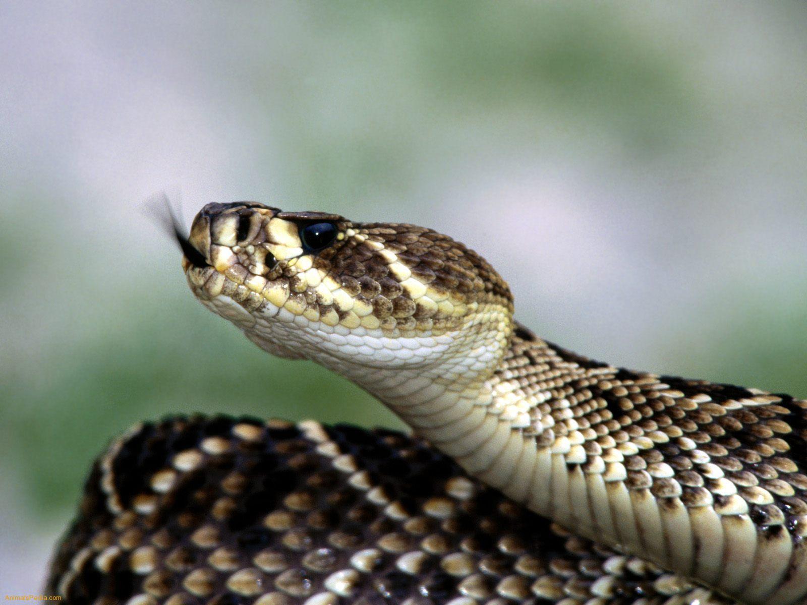 2011 Georgia Rattlesnake Roundup