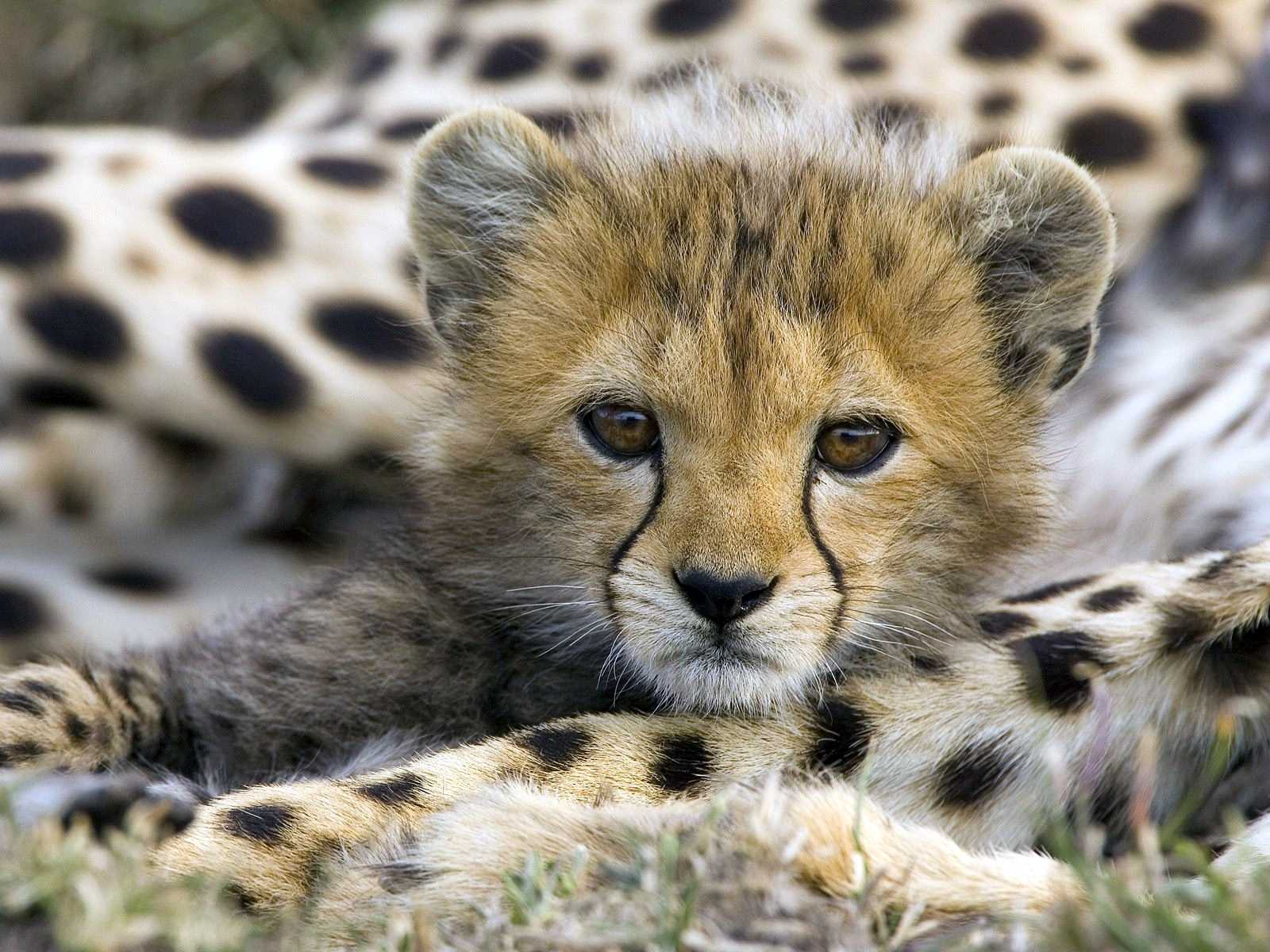 the cheetah is an endangered species Encroaching human populations are the biggest threat to the vulnerable cheetah help with wildlife conservation and ensure this species does not become endangered.