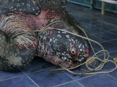 Killer Plastic Bags Choke Rare Leatherback Sea Turtle