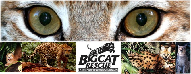 Big Cat Rescue Needs Your Help