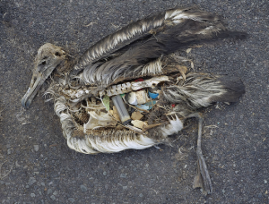Plastic Pollution Kills Seabirds